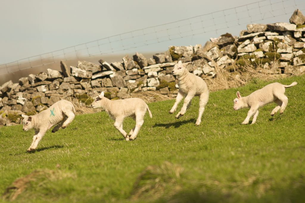 Stay Lambing Live - Gallery